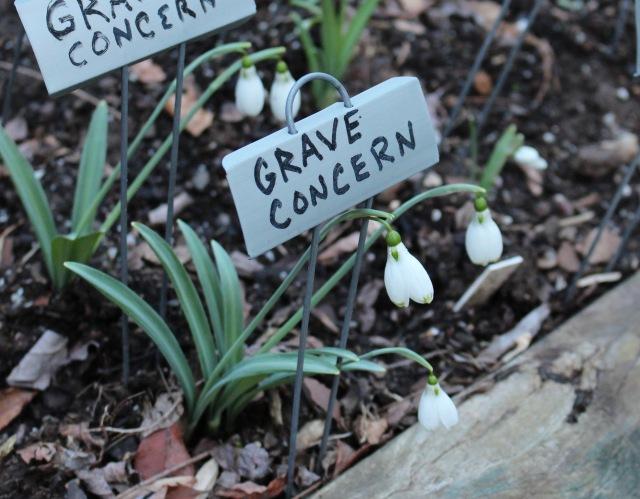 galanthus grave concern