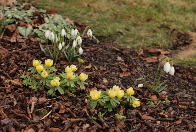 snowdrops and winter aconite