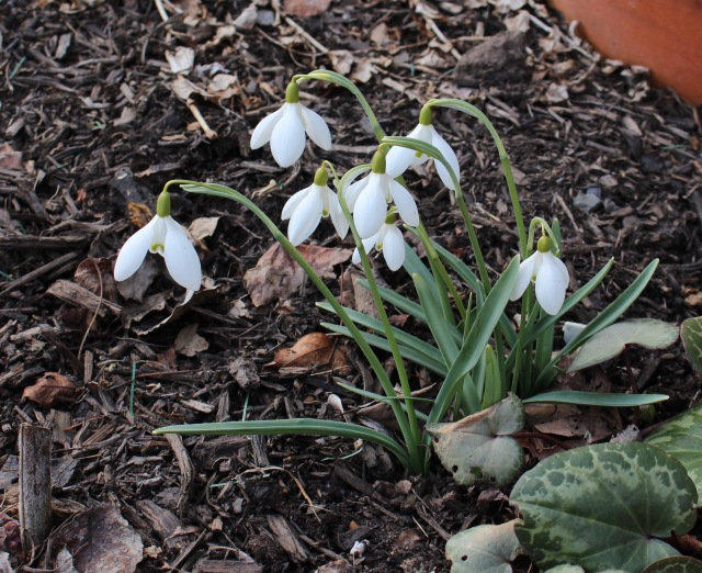 galanthus nothing special