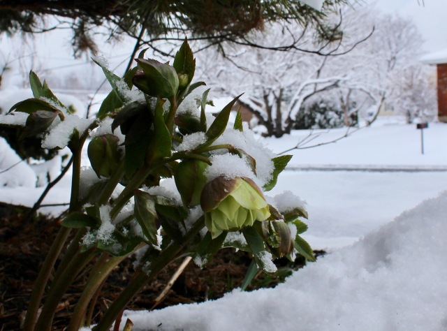 hellebore in the snow