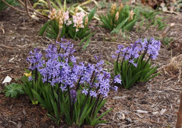 multiflowering hyacinth anastasia