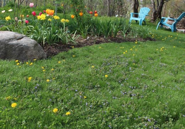 dandelion lawn