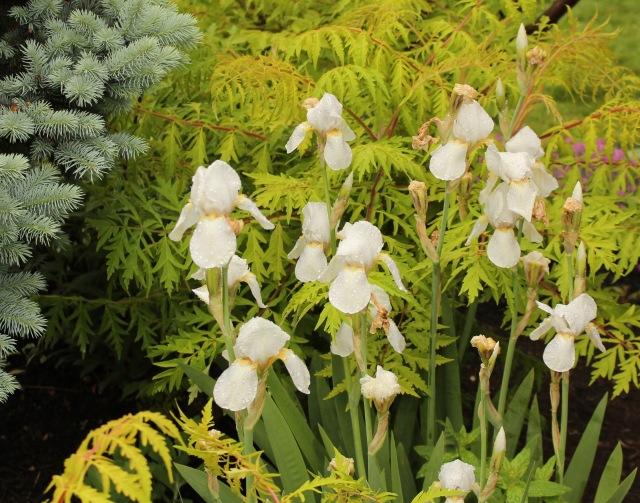 iris kashmir white 1912