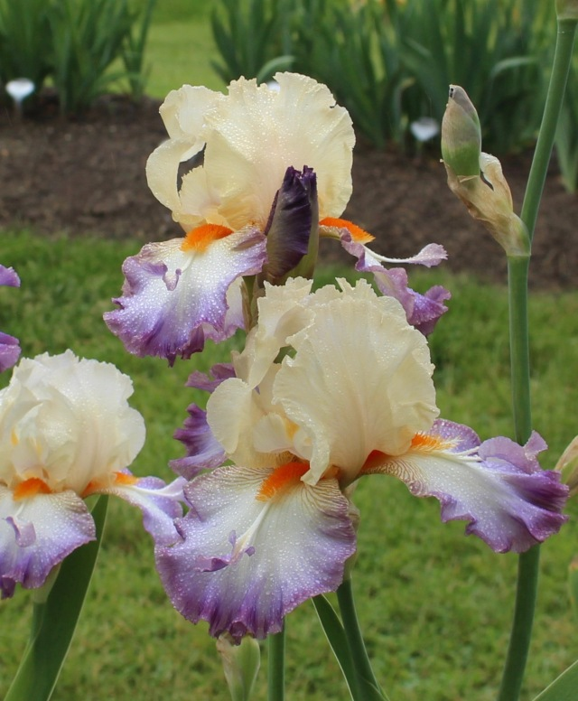 iris 'wings at dawn' 2014