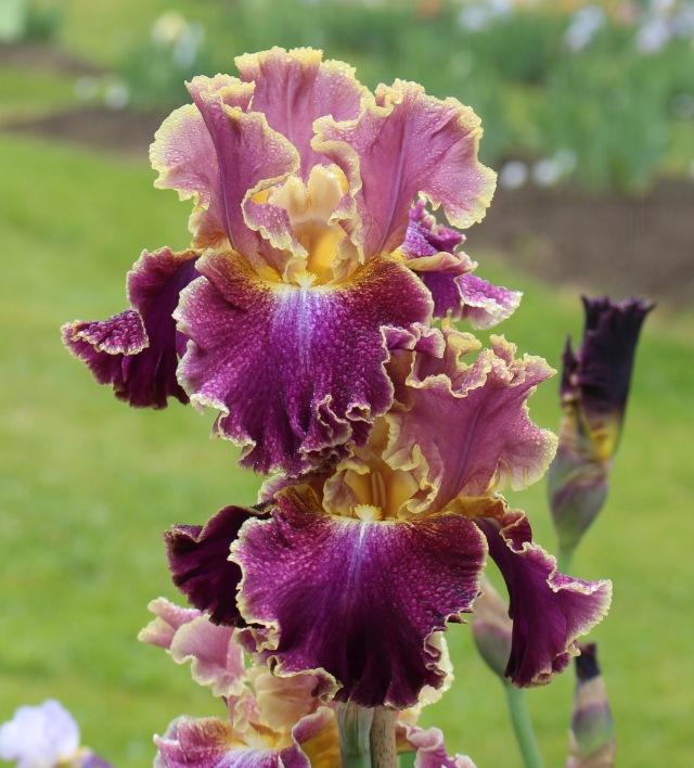 iris montmartre 2008