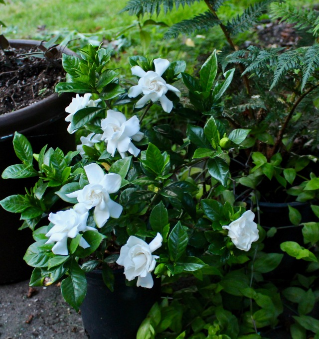 gardenia chuck hayes