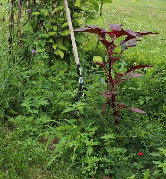 weedy garden