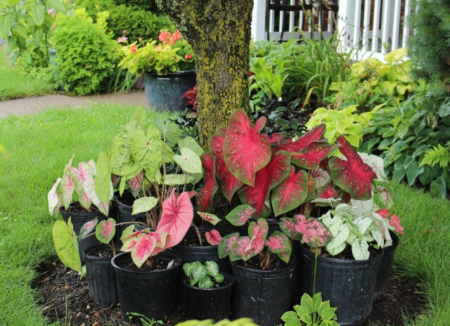 caladiums in pots