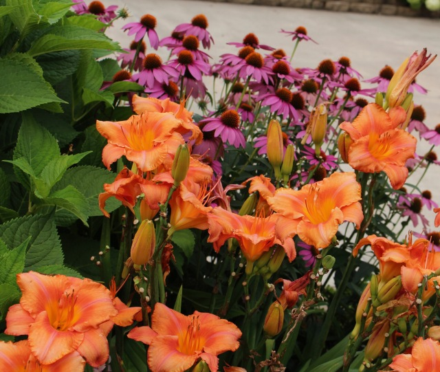 orange and pink daylily