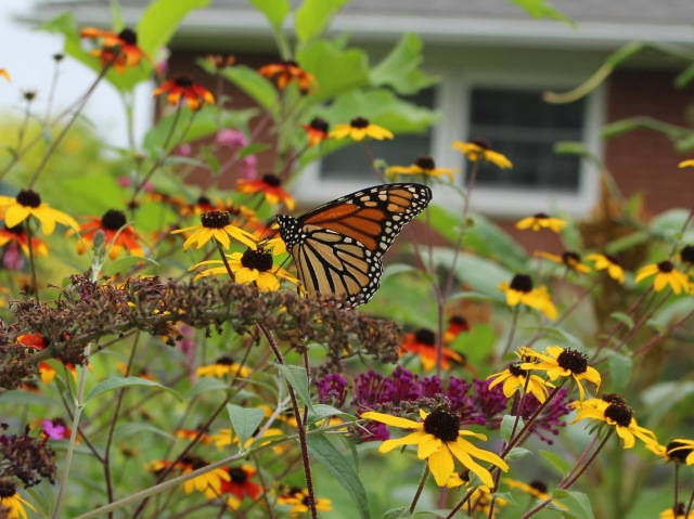 monarch on rudbeckia
