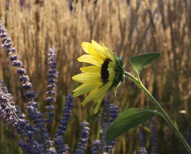 pale sunflower