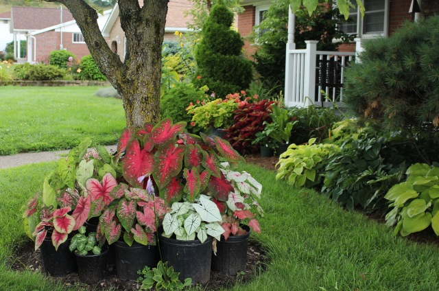 potted caladiums