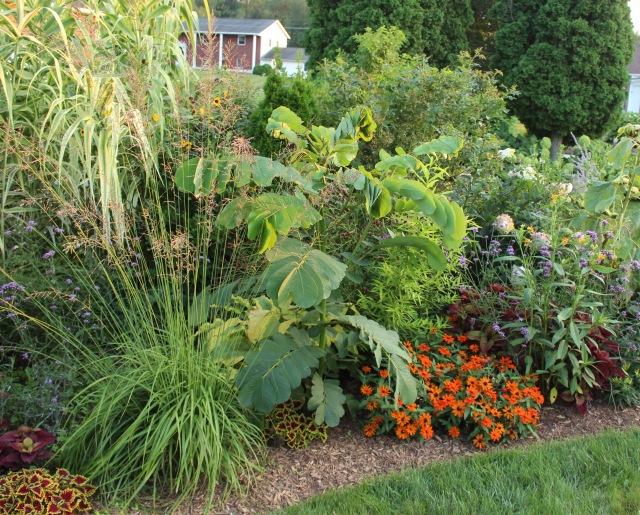senna alata candlestick plant