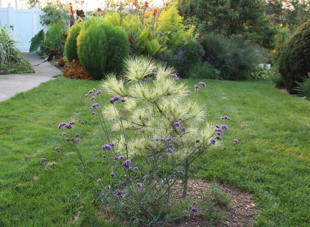 Pinus densiflora 'Burke's Red Variegated'