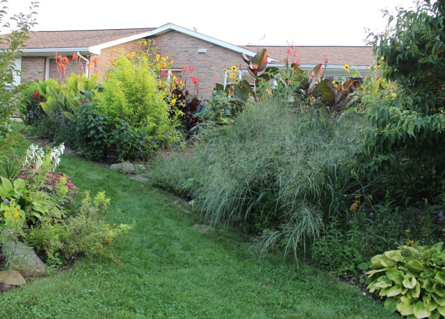 panicum seedling