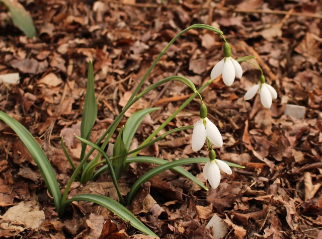 galanthus percy picton