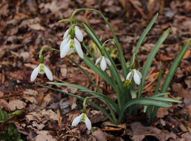 galanthus fieldgate superb