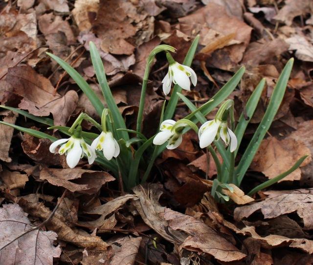 galanthus heffalump
