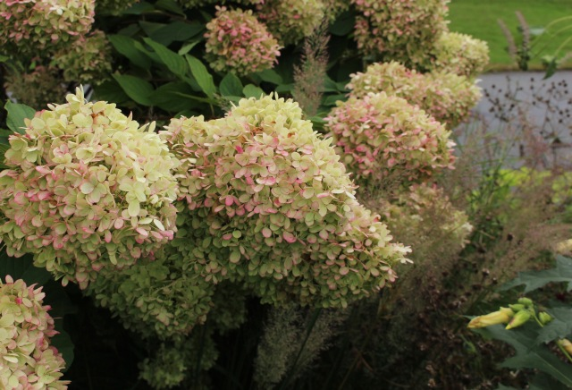 limelight hydrangea fall color