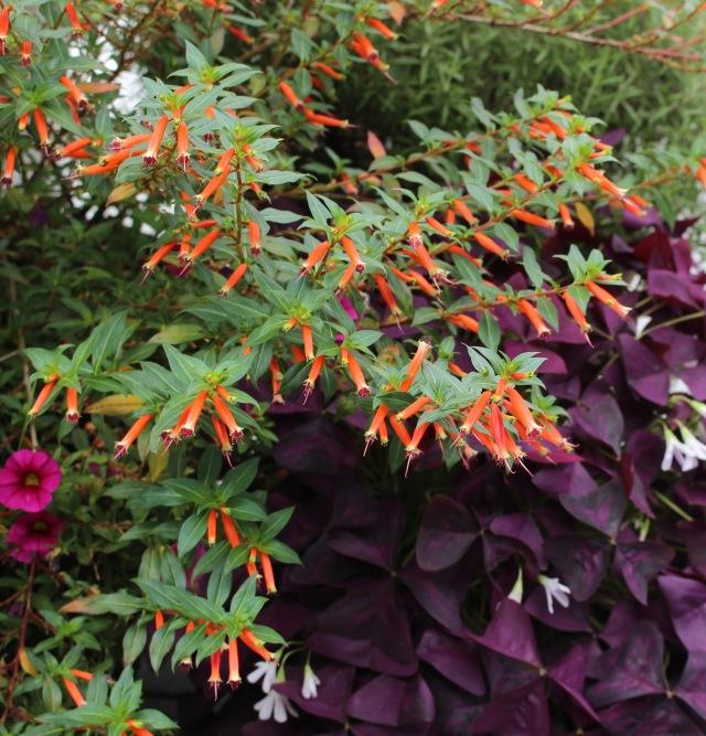 cuphea firecracker plant