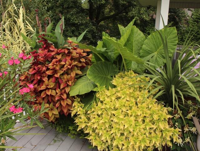 deck plantings coleus