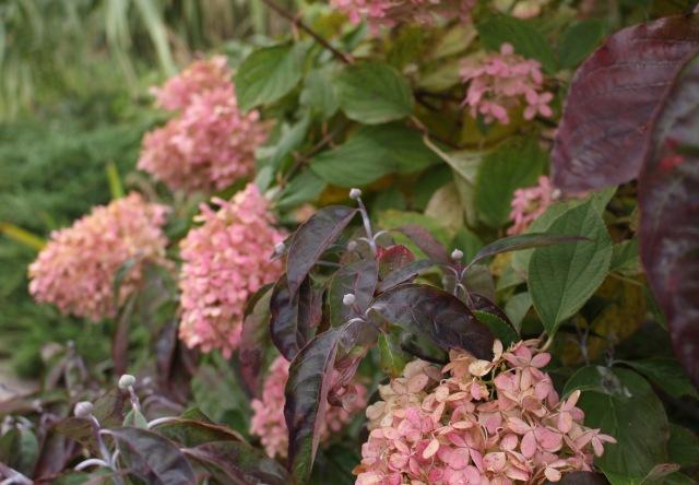 limelight hydrangea autumn