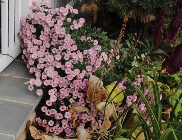 late blooming chrysanthemum