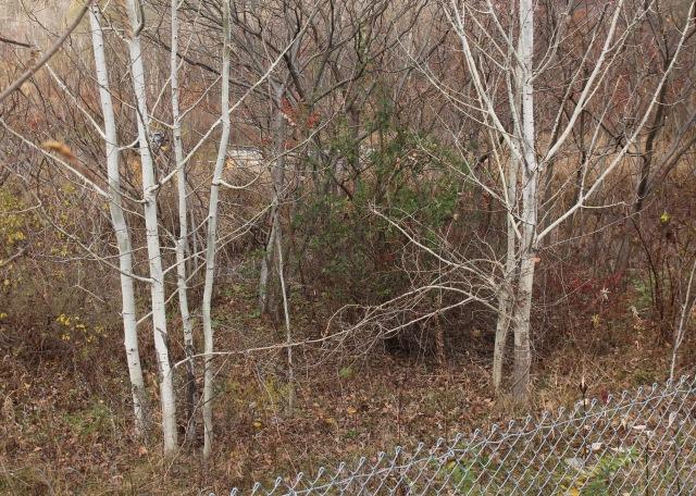 quaking aspen bark