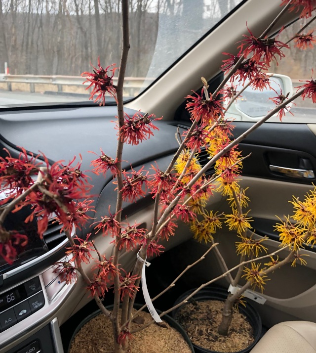 rare finds nursery hamamelis