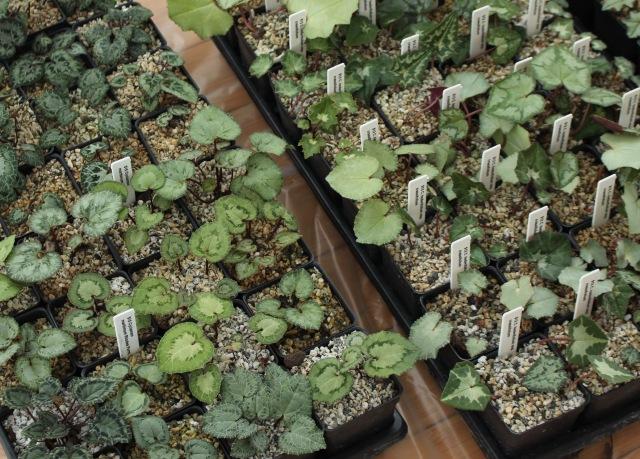 hardy cyclamen foliage