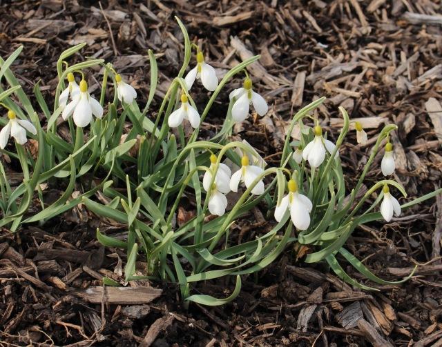 galanthus gracilis
