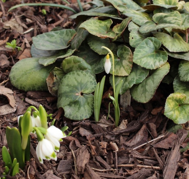 galanthus norfolk blonde