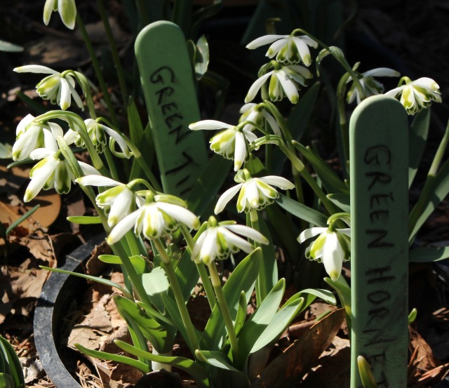 galanthus green tip richard ayres