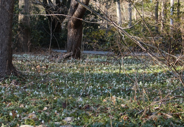 naturalized snowdrops galanthus