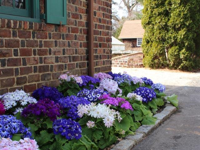 florist cineraria pericallis bedding
