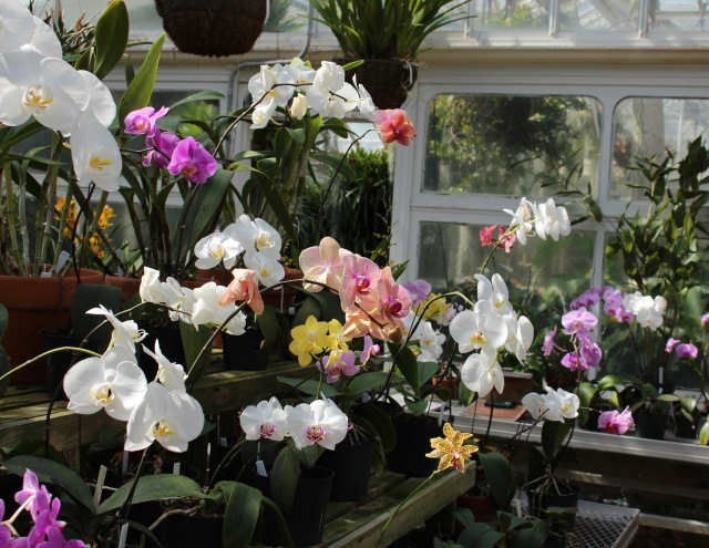 planting fields orchids phalaenopsis