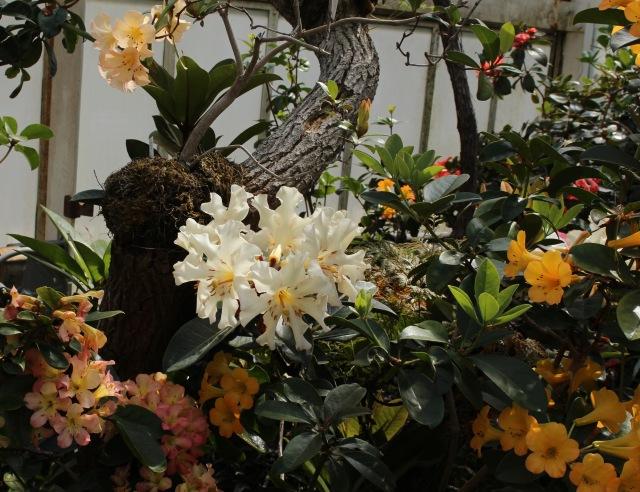 planting fields rhododendron vireya