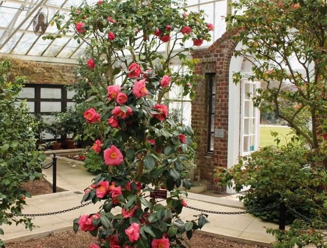 planting fields camellia house