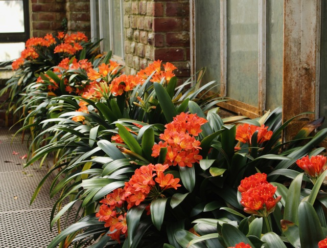 planting fields clivia