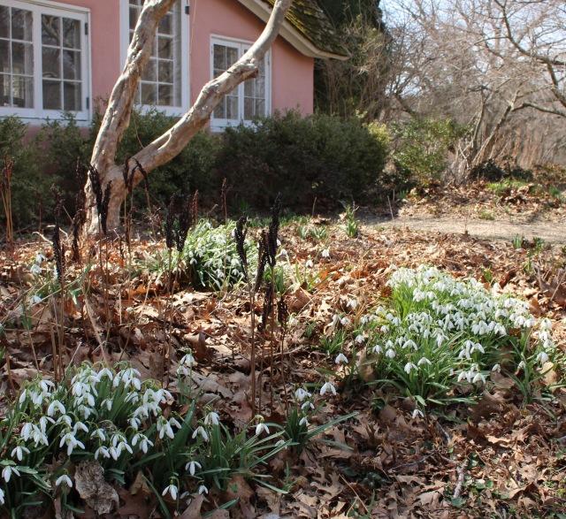 planting fields snowdrops