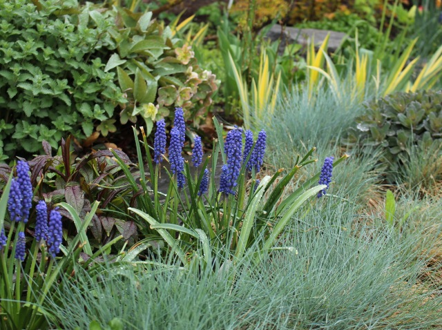 muscari and blue fescue