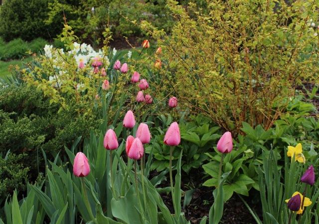 perennial tulips