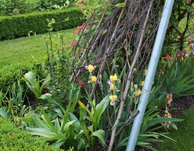 historic iris darius
