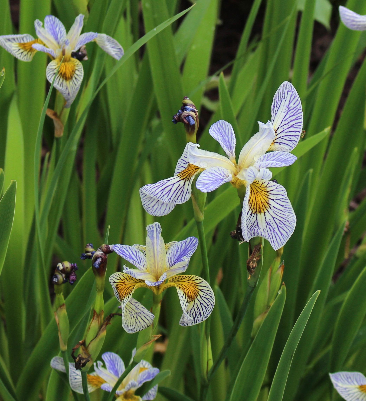 iris roys repeater
