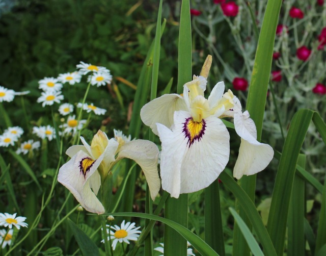 pseudata iris okagami