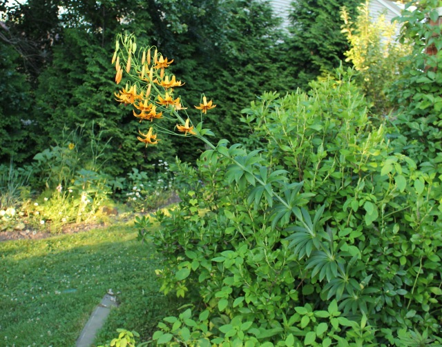 canada lily lilium canadense