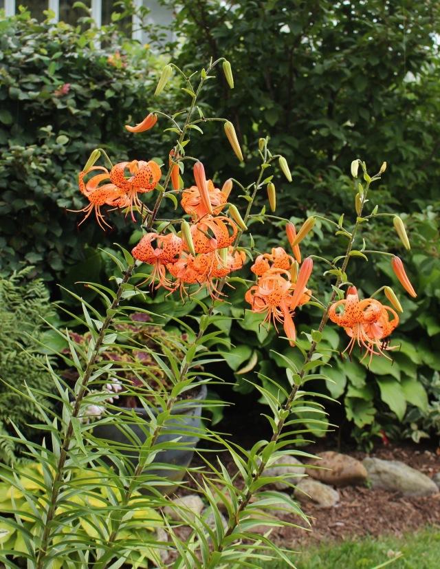 tiger lily lancifolium