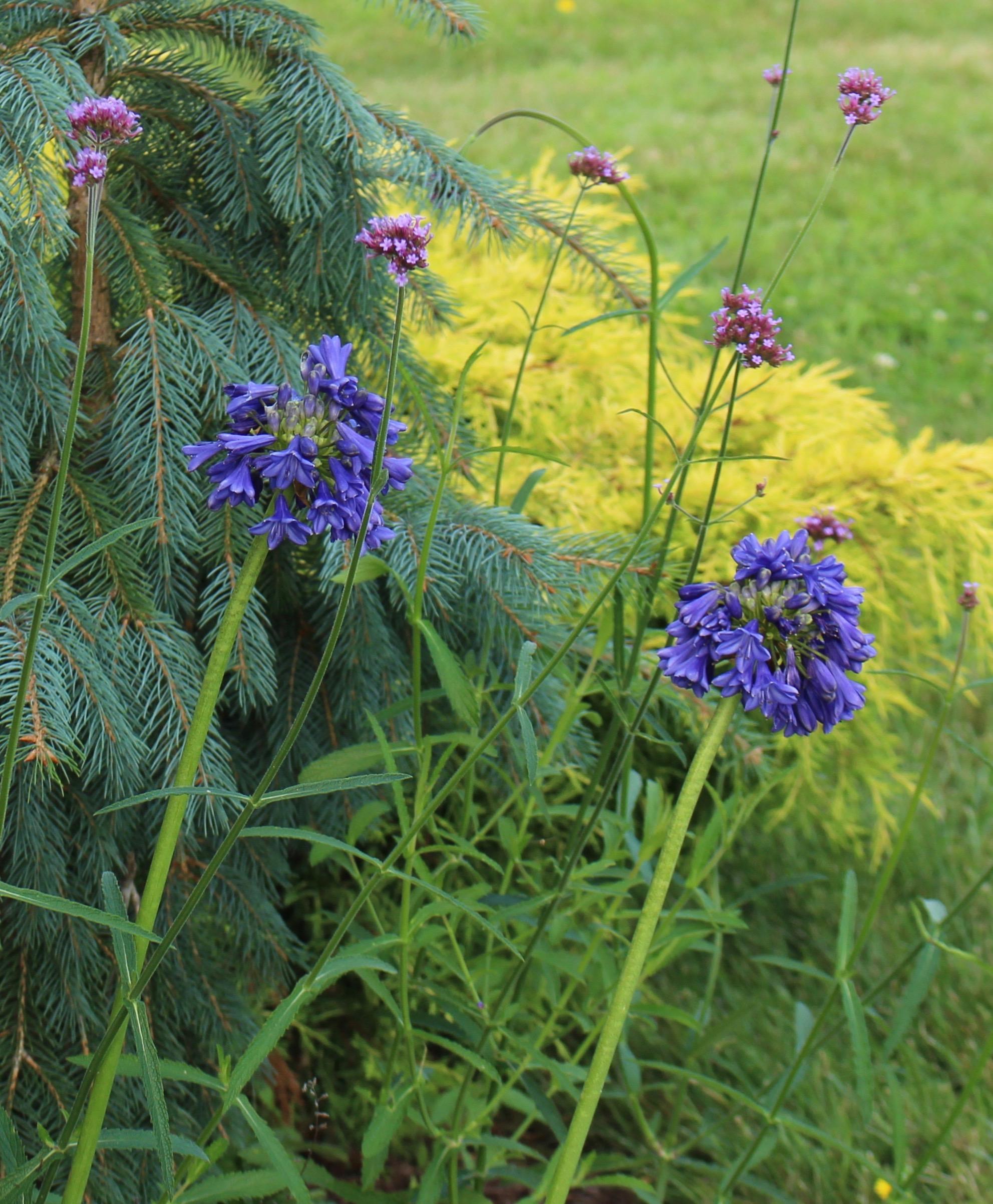 agapanthus blue yonder