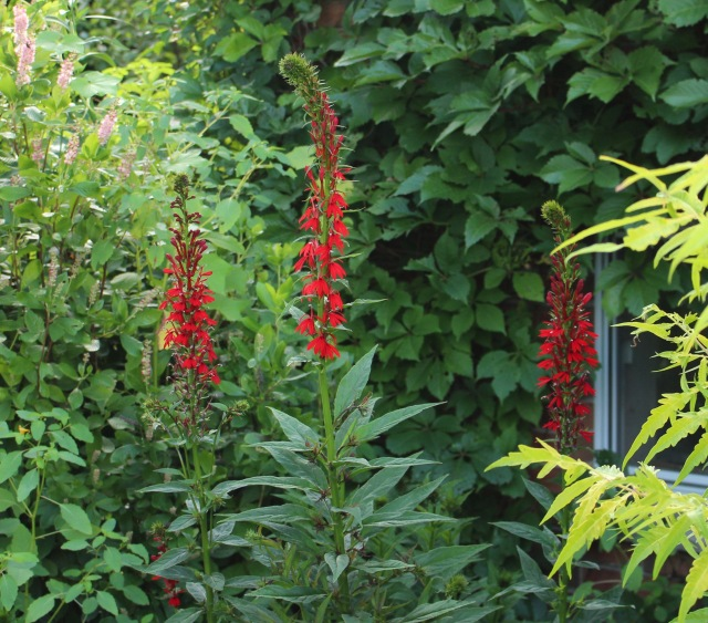 cardinal flower lobelia
