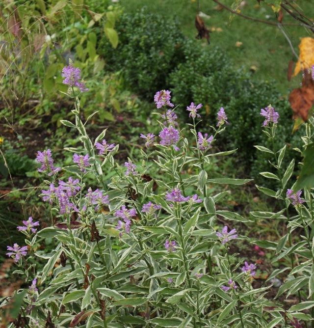 Physostegia virginiana 'Variegata' obedient plant